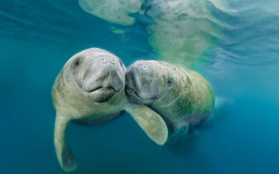 Simple Ways to Help Protect the Ocean's Most Gentle Creature, the Manatee